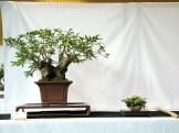 selection rhone alpes bonsai 2012 22