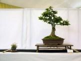 selection rhone alpes bonsai 2012 27