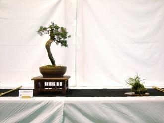 selection rhone alpes bonsai 2012 32