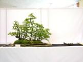 selection rhone alpes bonsai 2012 45