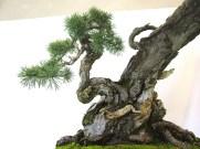 selection rhone alpes bonsai 2012 56