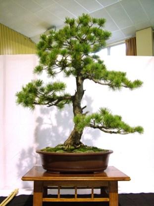selection rhone alpes bonsai 2012 59