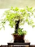 selection rhone alpes bonsai 2012 69