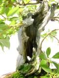 selection rhone alpes bonsai 2012 70