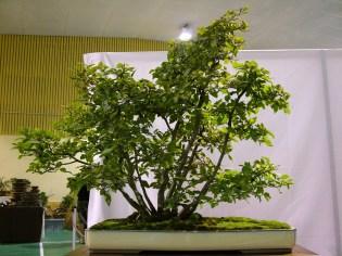 selection rhone alpes bonsai 2012 74