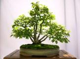 selection rhone alpes bonsai 2012 77