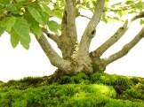 selection rhone alpes bonsai 2012 78