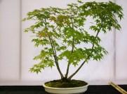 selection rhone alpes bonsai 2012 84