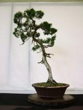 selection rhone alpes bonsai 2012 90