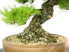 selection rhone alpes bonsai 2012 99