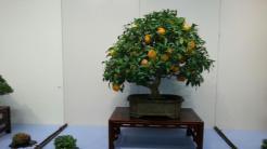 bonsai exposés - kokufu ten 2013 -3