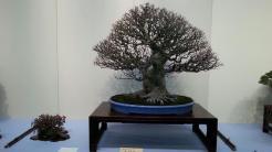bonsai exposés - kokufu ten 2013 -4