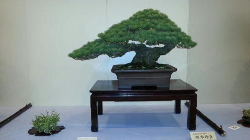 bonsai exposés - kokufu ten 2013