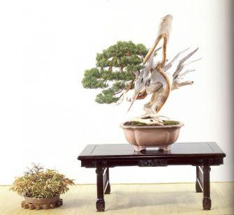 bonsai masterpiece shimpaku 5