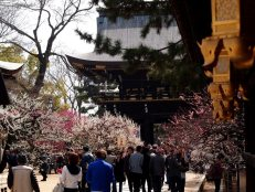 cerisiers en fleur au Japon hanami - 05