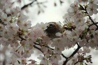 cerisiers en fleur au Japon hanami - 13