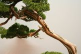 EBA2013 nicola crivelli - juniperus chinensis 06