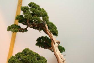 EBA2013 nicola crivelli - juniperus chinensis 09