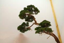 EBA2013 nicola crivelli - juniperus chinensis 11
