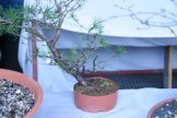 pin sylvestre yamadori