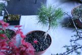 destination bonsai - christophe richy - 112
