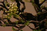 prunus mahaleb - oscar roncari - 04