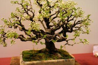 prunus mahaleb - oscar roncari - 12