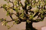 prunus mahaleb - oscar roncari - 15