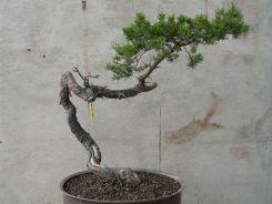 pin sylvestre avant mise en forme