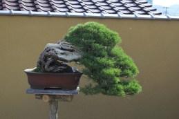 chinshoen kinashi bonsai exposé dan le jardin