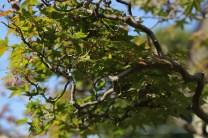 ramification acer palmatum kyuka-en
