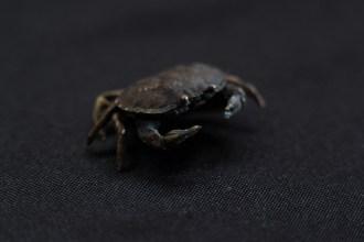 tempai de crabe