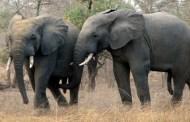 Zimbabwe : la vente d'éléphants fait polémique