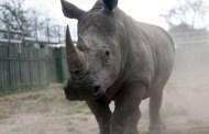 Afrique du Sud : pas de répit dans le massacre des rhinocéros  Lire l'article sur Jeuneafrique.com : Afrique du Sud | Afrique du Sud : pas de répit dans le massacre des rhinocéros