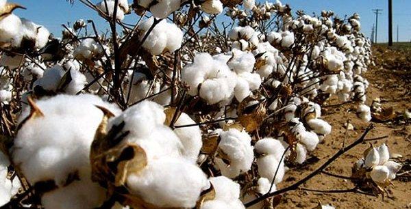 Perturbation de la campagne cotonnière : la Sofitex porte plainte contre 77 agriculteurs
