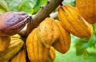 COTE D'IVOIRE: le prix du cacao fixé à 825FCFA/KG