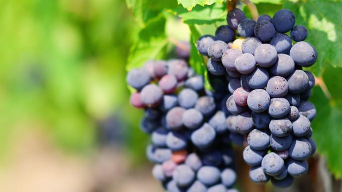 grape gamay vins de Franck Chavy