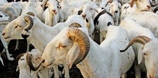 Le Sénégal attend 750.000 moutons pour la Tabaski 2016