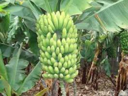Production de bananes à Tambacounda