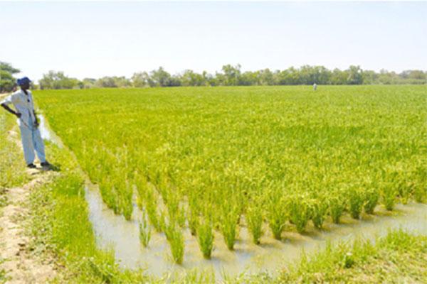 La SAED en production de riz