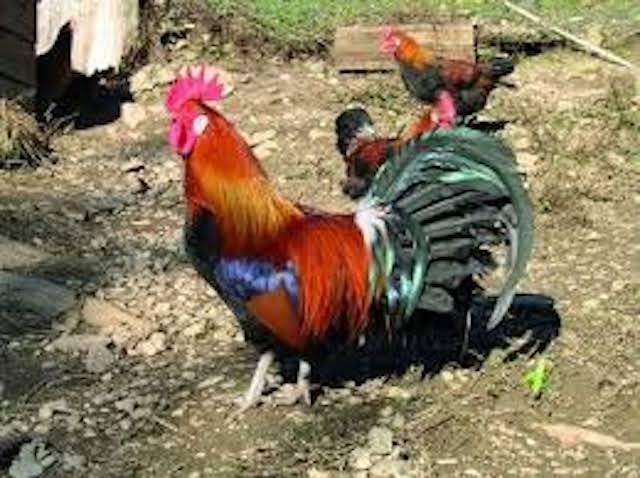 Korité poulet