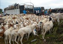 Des moutons à Kidira