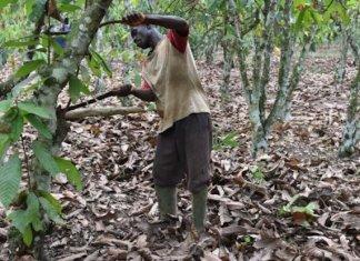 Filière chocolat en Côte d'Ivoire