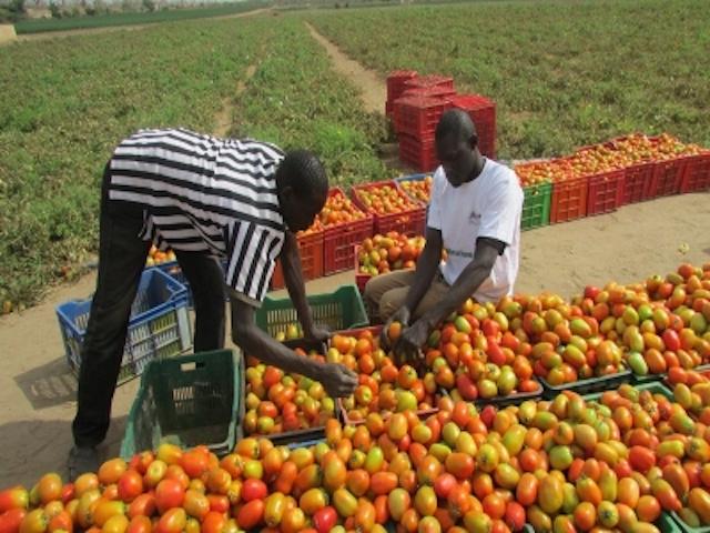 Le Sénégal exportateur de produits horticoles
