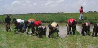 Le riz de contre-saison au Sahel menacé par les températures