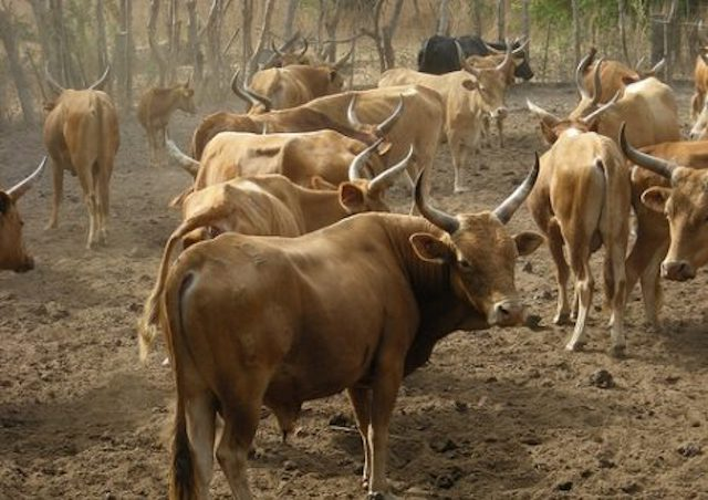 Des pertes énormes causées par le vol de bétail
