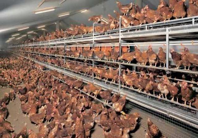 La révolution dans l'aviculture sénégalaise