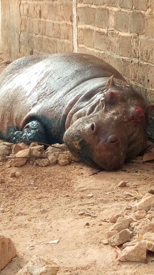 Un hippopotame en errance abattu à Kédougou