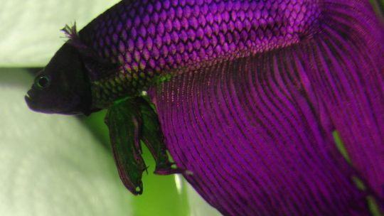 Cuidados básicos para un pez betta