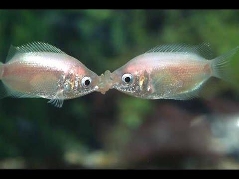 Helostoma temminckiio kissing gourami